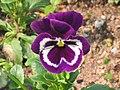 大花三色堇 Viola wittrockiana Joker -香港梅樹坑公園 Mui Shue Hang Park, Hong Kong- (9252393773).jpg