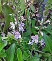 婆婆納屬 Veronica x cantiana -維也納大學植物園 Vienna University Botanical Garden- (28515313585).jpg