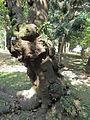 構樹.JPG