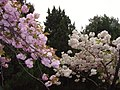 樱花 - panoramio.jpg
