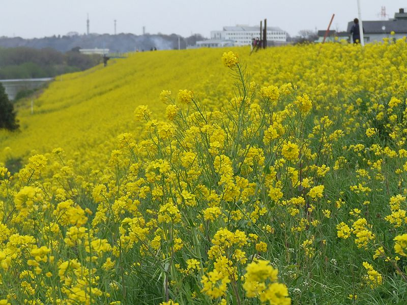 File:江戸川の菜の花 - panoramio.jpg