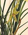 菅草蘭-小龍女 Cymbidium goeringii v tortisepalum -台南國際蘭展 Taiwan International Orchid Show- (39964905885).jpg