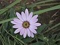 藍眼菊屬 Osteospermum jucundum -牛津大學植物園 Oxford Botanic Garden- (9200881360).jpg