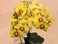 蝴蝶蘭 Phalaenopsis OX Yolk -台南國際蘭展 Taiwan International Orchid Show- (39129453660).jpg