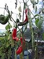 -2020-10-13 Cayenne pepper (Capsicum annuum), Trimingham (3).JPG