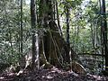 ... buttress root (16008458807).jpg