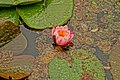 012 Water Lily.jpg