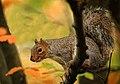 0338 Grey Squirrel (15822787645).jpg