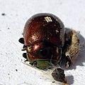 04 04 09 (60) Coleoptera (3419500641).jpg