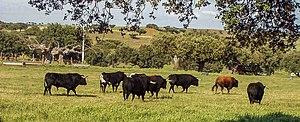 Spanish Fighting Bull - Breeding of Spanish fighting bulls near Salamanca