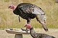 089 - WILD TURKEY (6-2-06) canet rd, sloco, ca (8719905175).jpg