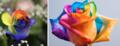 1. Rosa ArcoIris Frio. 2. Rosa ArcoIris Calido..png