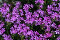 1024 Alpenbalsam (Erinus alpinus)-2146.jpg