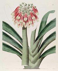 1182 Clivia nobilis