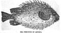 1834 SeaPorcupine AmericanMagazine v1 Boston.png