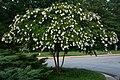 2008-07-24 Blooming tree at Duke Gardens.jpg