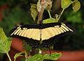 2011-04-25-lepidoptera-hunawihr-11.jpg