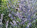 20110702Hummeln Gartenschaupark Hockenheim1.jpg