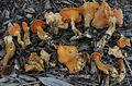 2012-01-28 Hygrophoropsis aurantiaca var. rufa D.A. Reid 197129.jpg