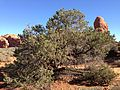 2013-09-23 09 36 54 Pinus edulis in the Windows Section of Arches National Park.JPG