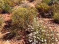 2013-09-23 14 43 38 Wildflowers along Capitol Reef Scenic Drive 5.1 miles from Utah State Route 24.JPG