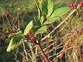 20131209Rosa multiflora Reilingen6.jpg