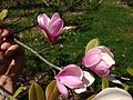 2014-05-11 11 57 38 Magnolia at a nursery along Davis Station Road, Upper Freehold Township, New Jersey.JPG