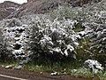 2014-06-17 09 44 18 Snow in June on Mountain Mahogany along Lamoille Canyon Road in Lamoille Canyon, Nevada.jpg