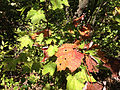 2014-08-25 13 05 58 Early fall coloration on Red Maple leaves along the Appalachian Trail about 7.9 miles northeast of the Delaware Water Gap in the Delaware Water Gap National Recreation Area, New Jersey.JPG