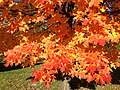 2014-11-02 15 06 21 Sugar Maple foliage during autumn along Parkway Avenue in Ewing, New Jersey.jpg