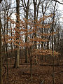2014-12-30 12 23 58 American Beech sapling in the woods near Metzger Drive at the College of New Jersey in Ewing, New Jersey.JPG
