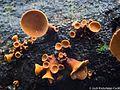 2015-01-08 Encoelia heteromera (Mont.) Nannf 569329.jpg