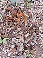 2015-02-23 Hydnotrya cubispora (E.A. Bessey & B.E. Thomps.) Gilkey 509667.jpg