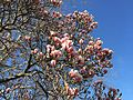2015-04-12 17 17 31 Saucer Magnolia blossoms on Princeton Avenue in Lawrence, New Jersey.jpg