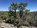 2015-04-28 14 11 22 An older Single-leaf Pinyon on the south wall of Maverick Canyon, Nevada.jpg