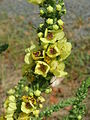 20150719Verbascum nigrum.jpg