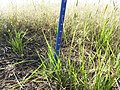 2015 Cover Crop Demo Plots Progress in Perkins Co., SD (20332630048).jpg