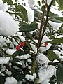 2016-02-15 10 04 53 American Holly foliage and berries covered in snow along Hidden Meadow Drive in the Franklin Farm section of Oak Hill, Fairfax County, Virginia.jpg