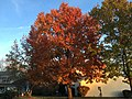 2017-11-21 16 32 56 A Red Maple in late autumn along Tranquility Lane near Franklin Farm Road in the Franklin Farm section of Oak Hill, Fairfax County, Virginia.jpg