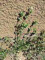 20170412Arenaria serpyllifolia1.jpg