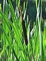 20170713Typha latifolia2.jpg
