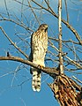 217 - COOPERS HAWK (7-23-2018) patagonia lake, santa cruz co, az -02 (41843200470).jpg