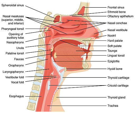 2303 Anatomy of Nose-Pharynx-Mouth-Larynx