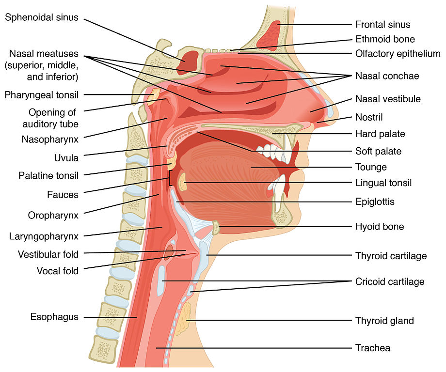 File2303 Anatomy Of Nose Pharynx Mouth Larynxg Wikimedia Commons