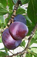 3 blood plums on tree.jpg