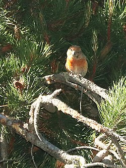 965.5 - CASSIA CROSSBILL (6-30-2018) trail n-w from upper penstamon c g, cassia co, id -12 male (28376908057).jpg
