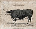 A Hereford fat ox. Etching, ca 1823. Wellcome V0021711.jpg