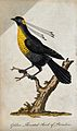 A golden throated bird of paradise sitting on a branch of a Wellcome V0021332ER.jpg