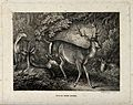 A group of red deer stags. Etching by W-S Howitt, ca 1798. Wellcome V0021530.jpg