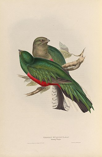 White-tipped quetzal - Image: A monograph of the Trogonidae, or family of trogons (40570576671)